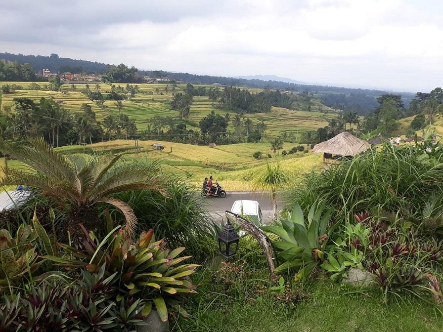 Plantatii orez in Bali