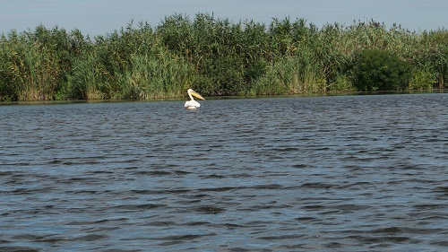 pelican-delta dunarii